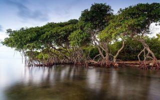 Мангровые леса – где находятся, фото и видео