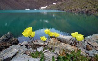 Природа, животные и растения алтая | флора и фауна горного алтая